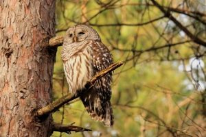 a barred owl sitting on a tree branch