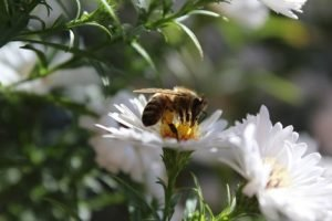 a bee pollinating a daisy