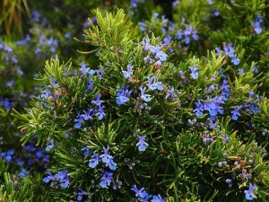 A rosemary bush with lavender flowers