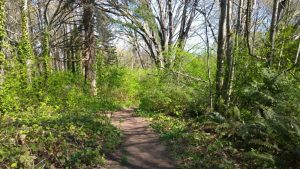 a trail in Discovery Park in springtime with dense undergrowth