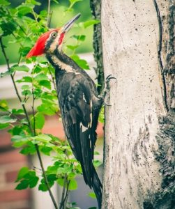 A pileated woodpecker with a bright red head